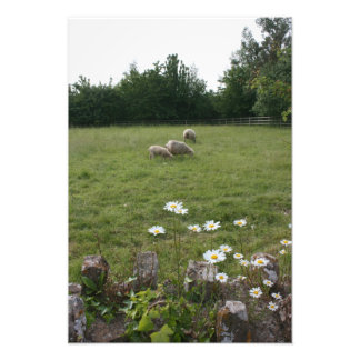 Daisies with lambs photo