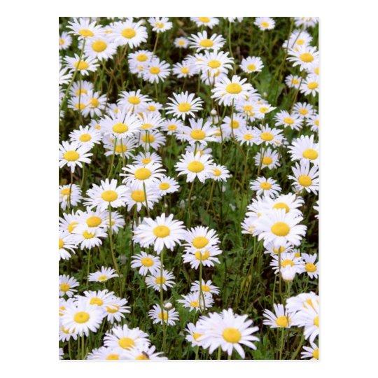 Daisy Daisies Postcard