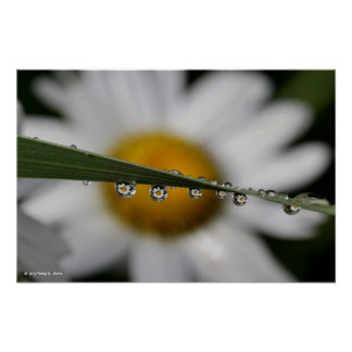 Daisy Drops nature photograph poster print