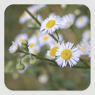 Daisy Fleabane Wildflower Stickers