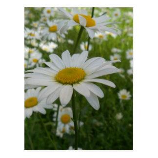 Daisy Flower Postcard