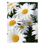 Daisy Flowers Growing White Postcard