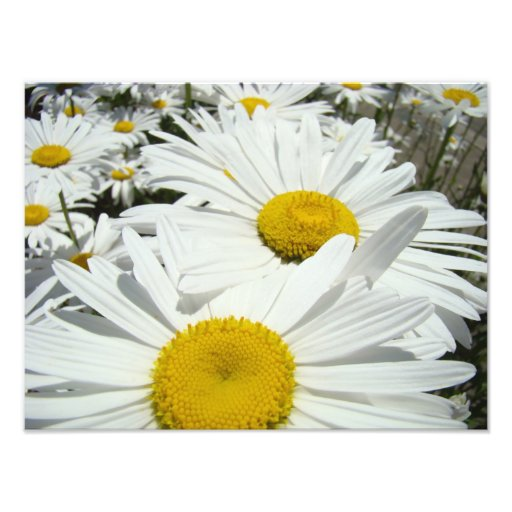 Daisy Flowers Photography art prints Daisies Art Photo