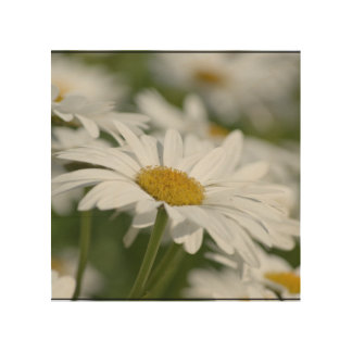 Daisy Flowers Wood Canvases