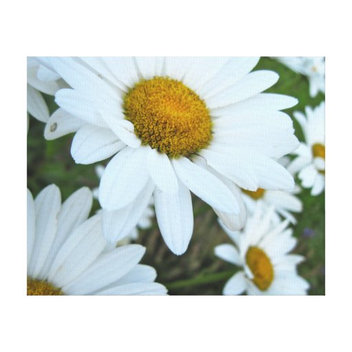 Daisy Garden Stretched Canvas Print