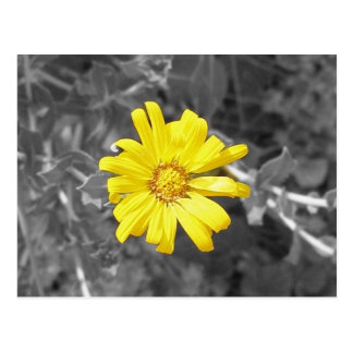 Daisy in Yellow, Black and White Postcard
