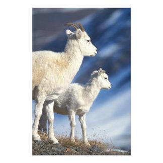 dall sheep, Ovis dalli, ewe and lamb on a Photo Art
