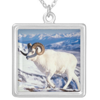 dall sheep, Ovis dalli, full curl ram on a 2 Silver Plated Necklace