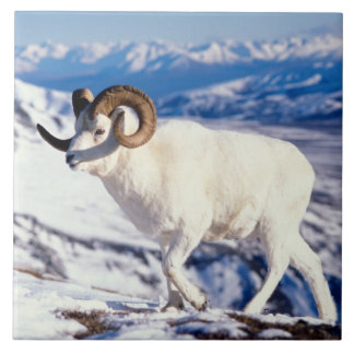 dall sheep, Ovis dalli, full curl ram on a 2 Tile