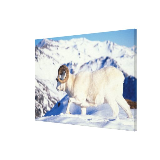dall sheep, Ovis dalli, full curl ram on a Gallery Wrap Canvas