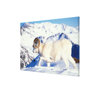dall sheep Ovis dalli full curl ram on a Gallery Wrap Canvas