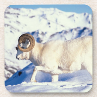 dall sheep, Ovis dalli, full curl ram on a Drink Coasters