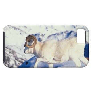 dall sheep, Ovis dalli, full curl ram on a iPhone 5 Covers