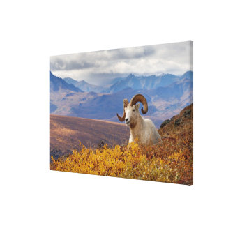 dall sheep, Ovis dalli, ram resting on a Canvas Print