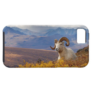 dall sheep, Ovis dalli, ram resting on a iPhone 5 Covers