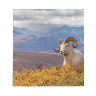 dall sheep, Ovis dalli, ram resting on a Notepad