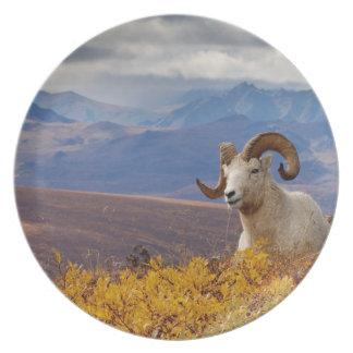 dall sheep, Ovis dalli, ram resting on a Plates