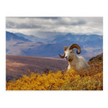 dall sheep, Ovis dalli, ram resting on a Postcards