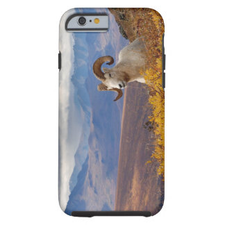 dall sheep, Ovis dalli, ram resting on a Tough iPhone 6 Case