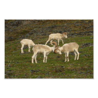 Dall Sheep Poster