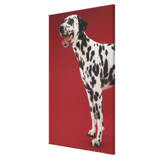 Dalmatian 10 gallery wrapped canvas