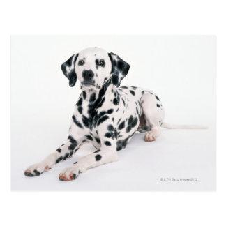 Dalmatian 4 postcard