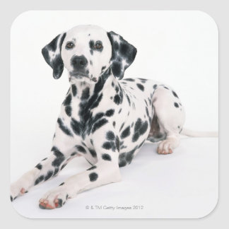Dalmatian 4 square sticker