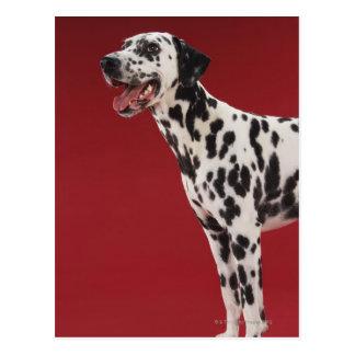 Dalmatian 6 postcard