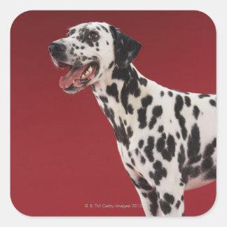 Dalmatian 6 square sticker