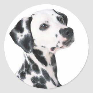 Dalmatian dog beautiful photo, gift classic round sticker