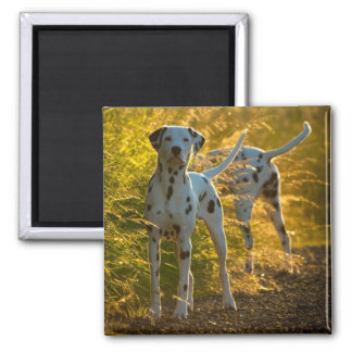 Dalmatian Dogs Magnet