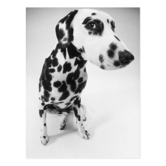 Dalmatian Products Postcard