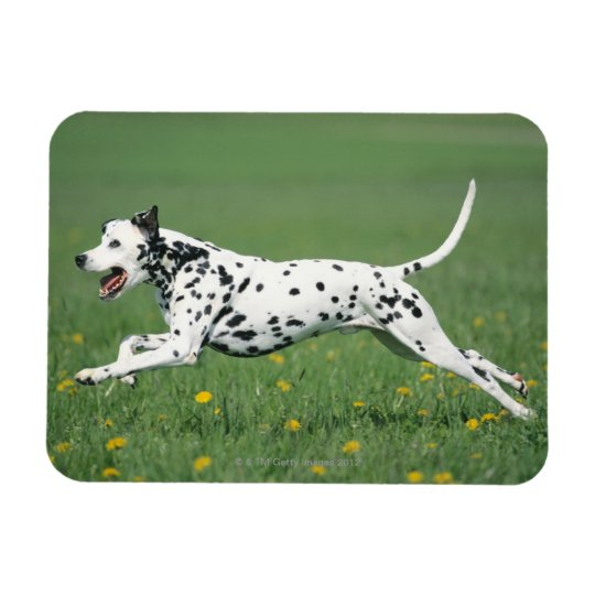 Dalmatian Running Rectangular Photo Magnet