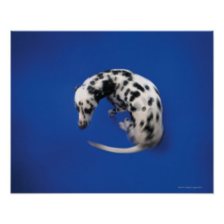 Dalmatian spinning poster