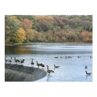 Dam Geese Post Cards