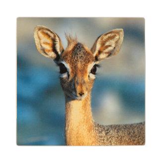 Damara Dik-Dik, Etosha National Park, Namibia Wood Coaster