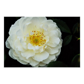 Damask White flowers Posters