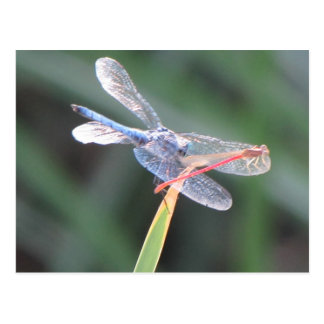 Damsel Fly Perched on Dragonfly Postcard