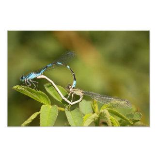 Damselflies Mating Photo Art