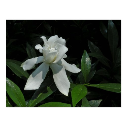 Dancing Gardenia Postcard