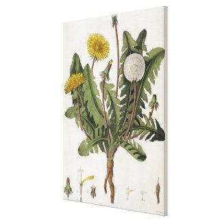 Dandelion (colour engraving) canvas print
