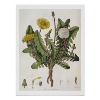 Dandelion (colour engraving) poster