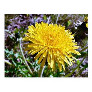 Dandelion Flower In Grass Postcard