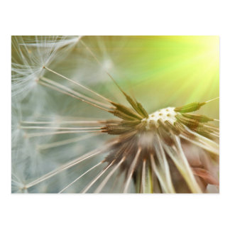 Dandelion Flower Postcard