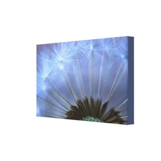 Dandelion Head Canvas Print
