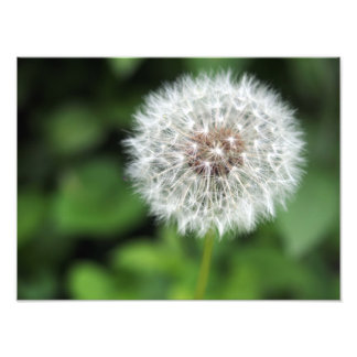 Dandelion Art Photo