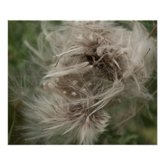 Dandelion photograph in English countryside Poster