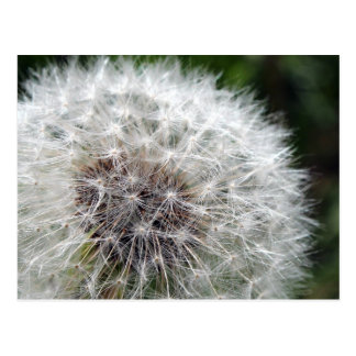 Dandelion Post Card