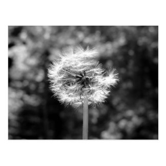 Dandelion Snow In Black And White Postcard