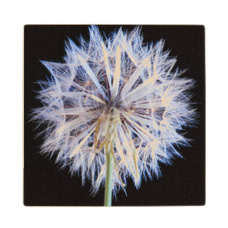Dandelion (Taraxacum Officinale) Seed Head Maple Wood Coaster